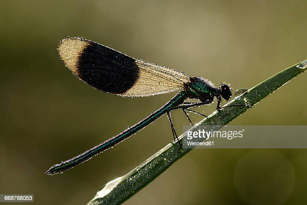Male banded demoiselle on blade of grass