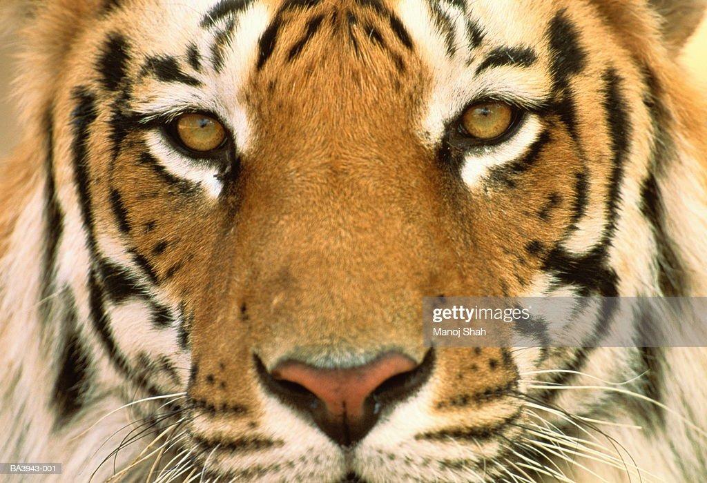 Male Bengal tiger's face (Panthera tigris tigris), full frame : Stock Photo