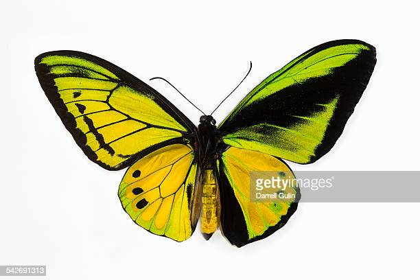 Male Birdwing Ornithoptera goliath samson