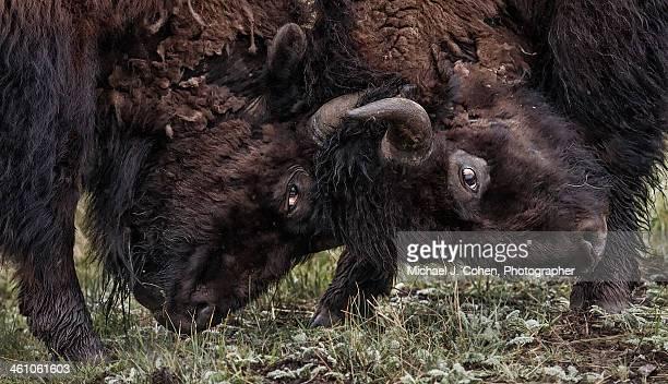 Male Bison Battling