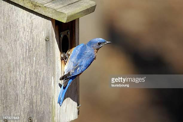 Male Bluebird at Nesting Box