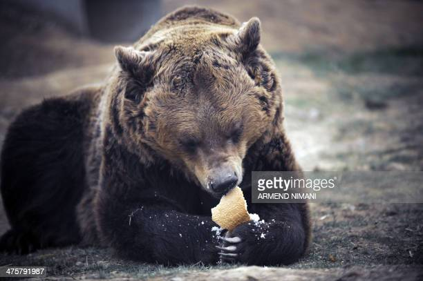 Male brown bear Anik eats a piece of bread in a bear sanctuary near the village of Mramor on March 1 2014 Thirteen brown bears live in a bear...