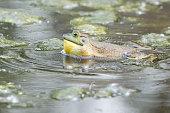 Male Bullfrog (Rana catesbeiana) singing  in water.
