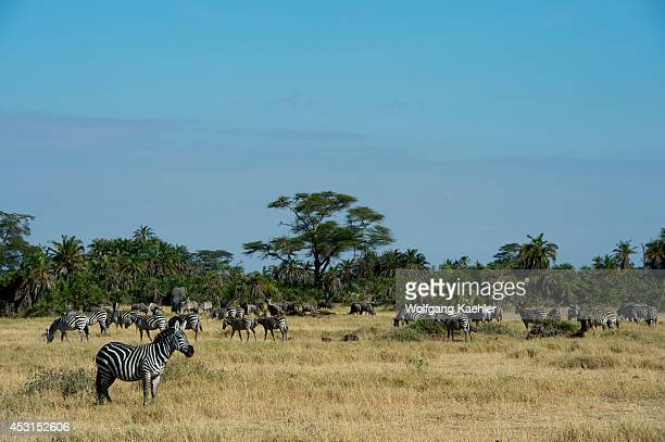 A male Burchell's zebra watching over herd in Amboseli National Park in Kenya