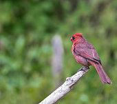 Male cardinal bird on tree branch