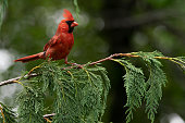 Male Cardinal bird atop an evergreen branch