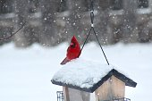 Vivid red male Cardinal perched on a wooden bird feeder during a snow storm in the Midwest. The background is blurred with falling snow.