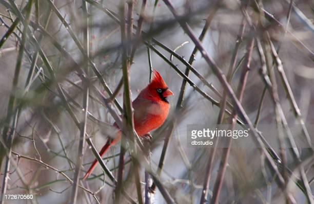 Mâle Cardinal en hiver