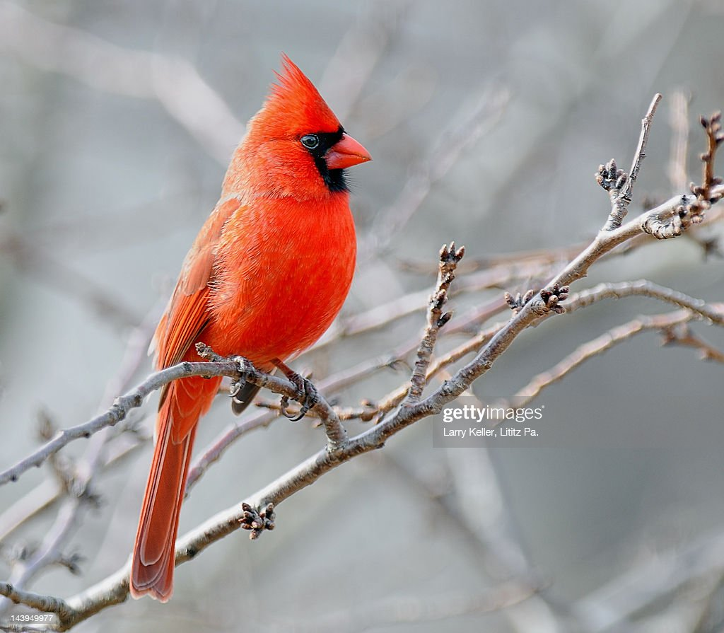 Male cardinal perched against grey sky