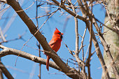 Male Cardinal with neck extended which happens when they are chirping.