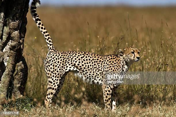 Male Cheetah marking tree