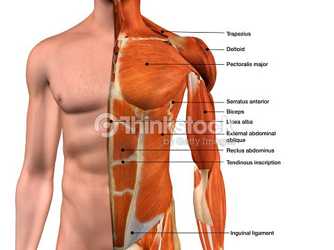 Male Chest Muscles Labeled On White Stock Photo | Thinkstock