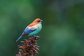A male Chestnut backed Tanager (Tangara preciosa) perched on a seedhead, against a blurred natural background, Atlantic rainforest, South-eastern Brazil