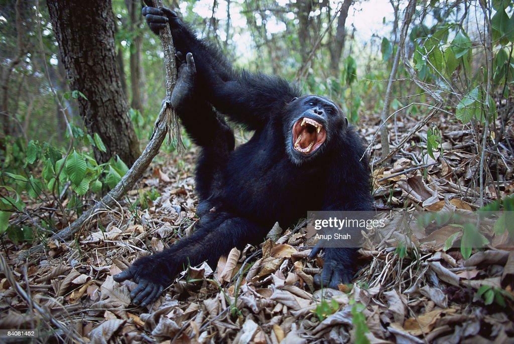 Male Chimpanzee  : Stock Photo
