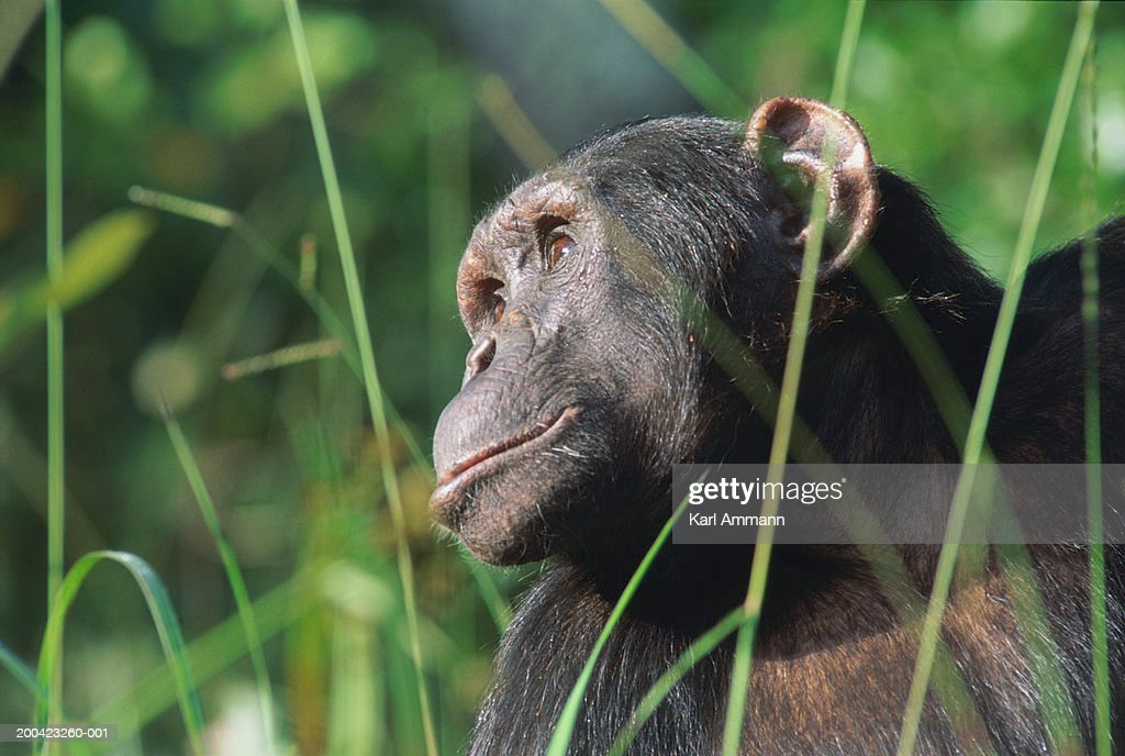 Male chimpanzee (Pan troglodytes), view through blades of grass : Stock Photo