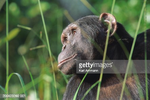 Male chimpanzee (Pan troglodytes), view through blades of grass : ストックフォト