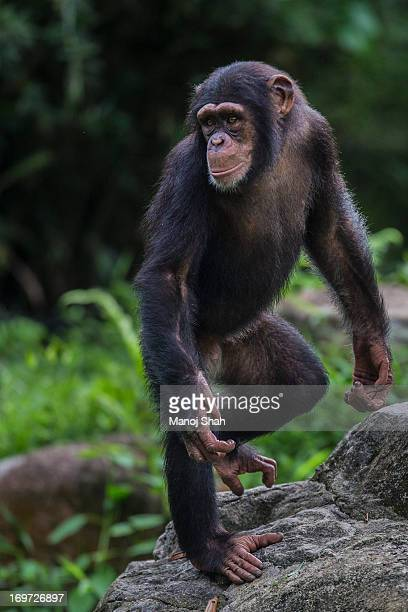 Male Chimpanzee youngster