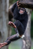 Male Chimpanzee youngster playing