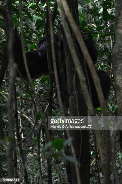 A male Common chimpanzee climbing on creepers and small trees