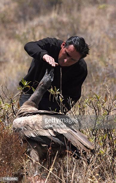 california condor repopulation The california condor was declared extinct in the wild but has since been  the  low point of california condor population was 22 birds – today there are 10.