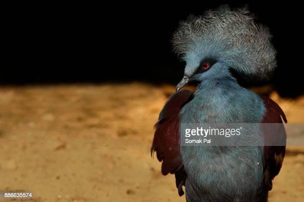 Male Crowned Pigeon