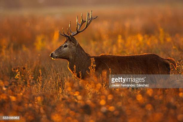 Male deer at sunset