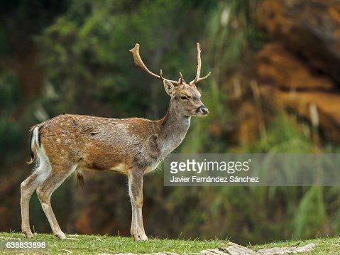 A male deer (Dama dama) in the breeding season.
