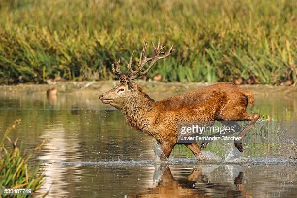 A male deer running through water