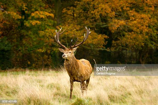 Male deer standing next to a forest in autumn