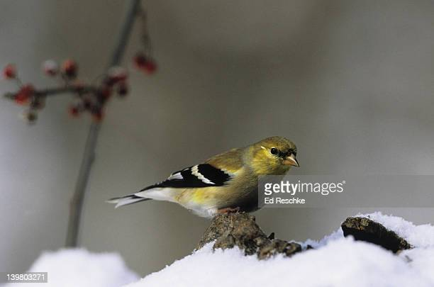 AMERICAN GOLDFINCH. Male developing yellow color in early spring. Carduelis tristis. Common and gregarious. Likes thistle.  Michigan