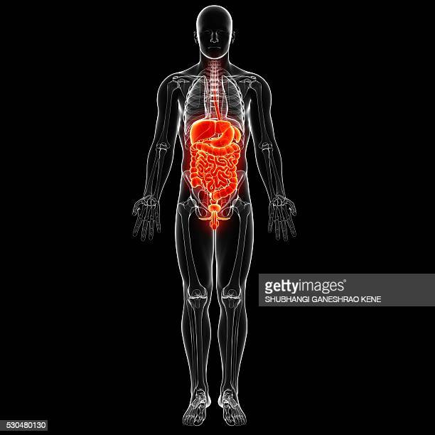 Male digestive system, computer artwork.