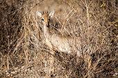 Male dik-dik in the bush