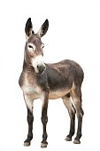 A male donkey isolated on white background