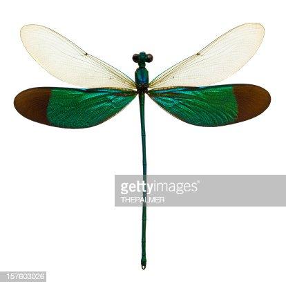 male dragonfly taxidermy