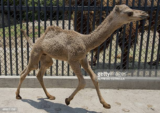 A male dromedary camel calf born in captivity on April 5 is seen at the Chapultepec Zoo in Mexico City on May 9 2014 AFP PHOTO/Alfredo ESTRELLA