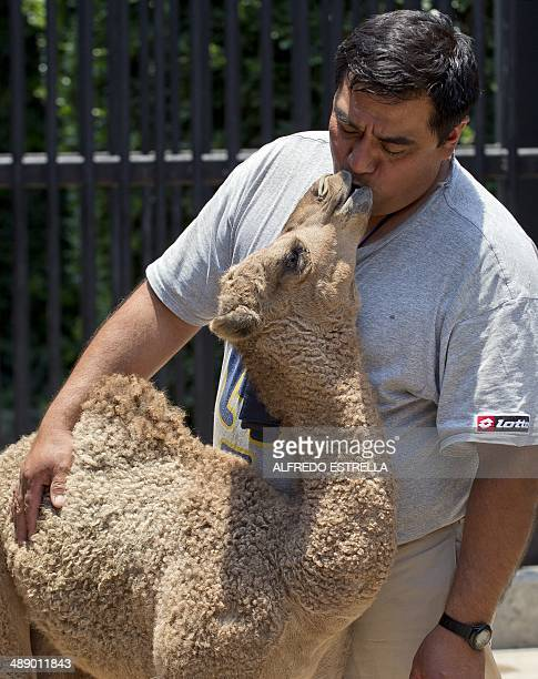 A male dromedary camel calf born in captivity on April 5 plays with zookeeper Jorge Maravilla at the Chapultepec Zoo in Mexico City on May 9 2014 AFP...