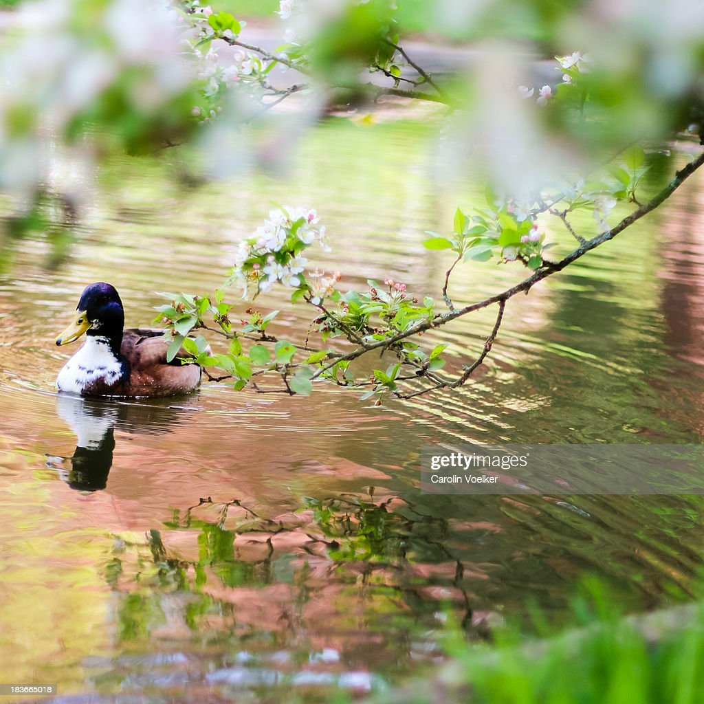Male Duck Swimming In A Pond Stock Photo | Getty Images