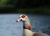 Male Egyptian Goose head and neck portrait lakeside at a nature reserve near Aylesbury in England.