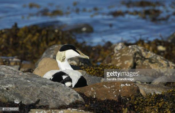 A male Eider (Somateria mollissima) sitting amongst the rocks at the edge of the sea.