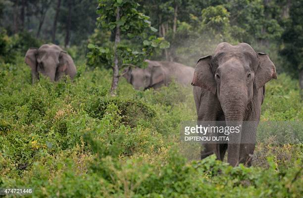 A male elephant charges towards unseen Indian villagers after they threw stones in an attempt to scare away a herd of wild elephants which strayed...