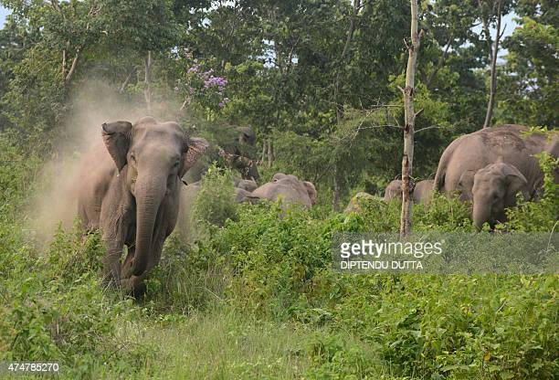 A male elephant charges towards unseen Indian villagers after they threw stones in an attempt to scare away the herd of wild elephants which strayed...