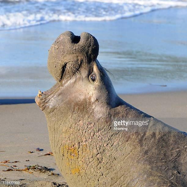 male elephant seal, Mirounga angustirostris, vocalizing on beach