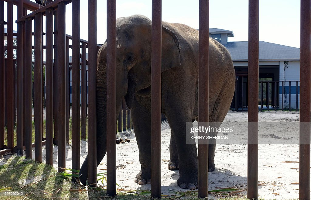 A male elephant stands in his enclosure at the Ringling Bros. Center for Elephant Conservation in Polk City, Florida on March 8, 2016. The circus formally retired all its elephants on May 1, 2016. Males typically dont perform after they reach adolescence and are mainly used for breeding purposes. / AFP / Kerry SHERIDAN / TO GO WITH AFP STORY BY KERRY SHERIDAN-'Circus elephants' retirement home promises pampered life '