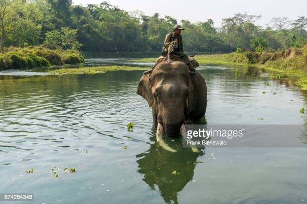 A male elephant with big molar teeth is getting washed by his mahout in the Rapti River in Chitwan National Park