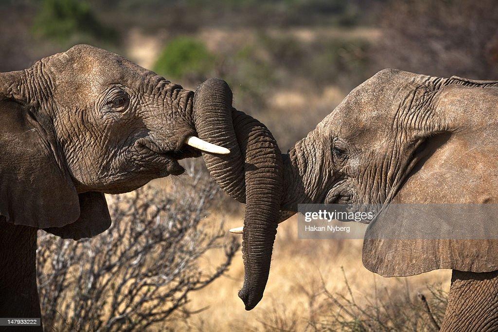 Male elephants wrestling : Stock Photo