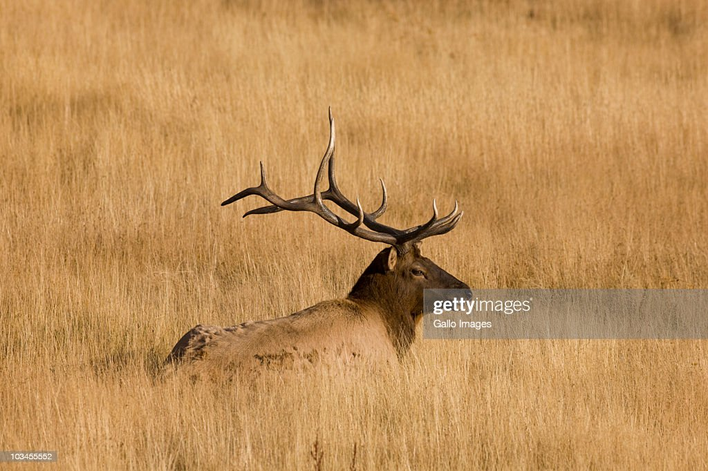 Male elk walking in grass, Yellowstone National Park, Wyoming, USA : Stock Photo
