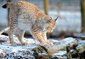 LAUTREDOU A male Eurasian Lynx is pictured in the animal park of SainteCroix on December 12 in Rhodes eastern France AFP PHOTO / JEANCHRISTOPHE...