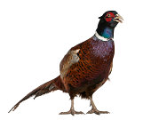 Male European Common Pheasant, Phasianus colchicus, a bird in the pheasant, standing in front of white background
