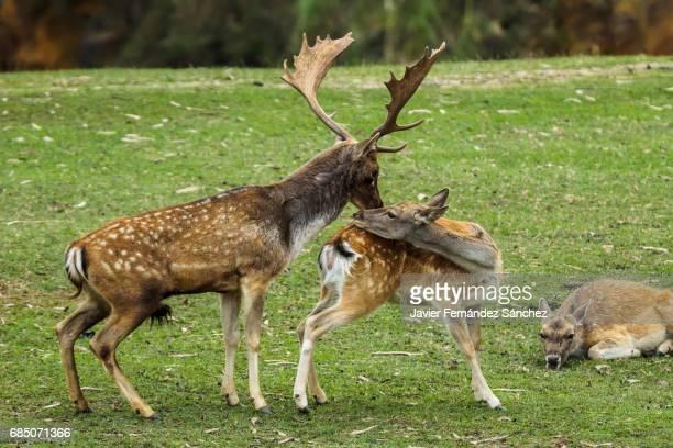 A male fallow deer (Dama dama) go after a female in heat at the breeding season.