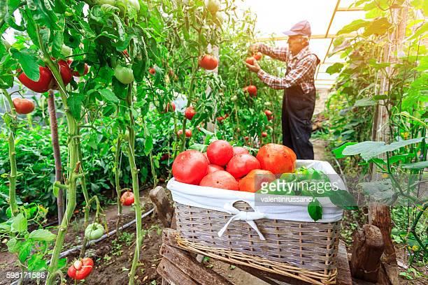 Male farmer picking vegetables from his garden
